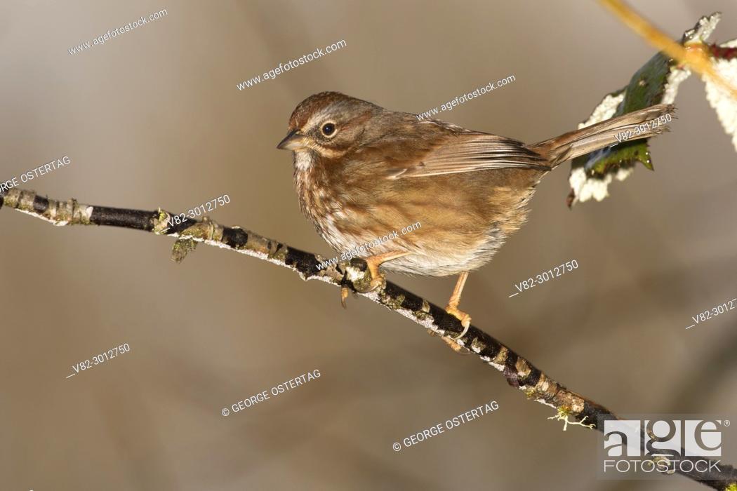 Stock Photo: Sparrow, Willamette Mission State Park, Oregon.