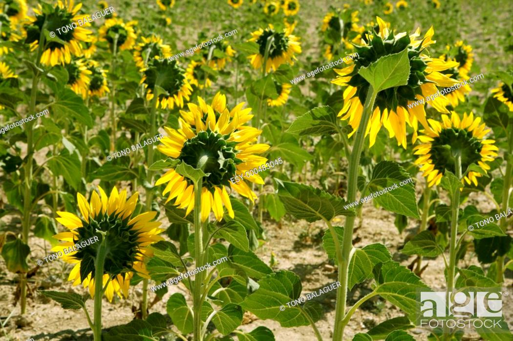 Stock Photo: Colorful sunflower plantation with vibrant yellow flowers.