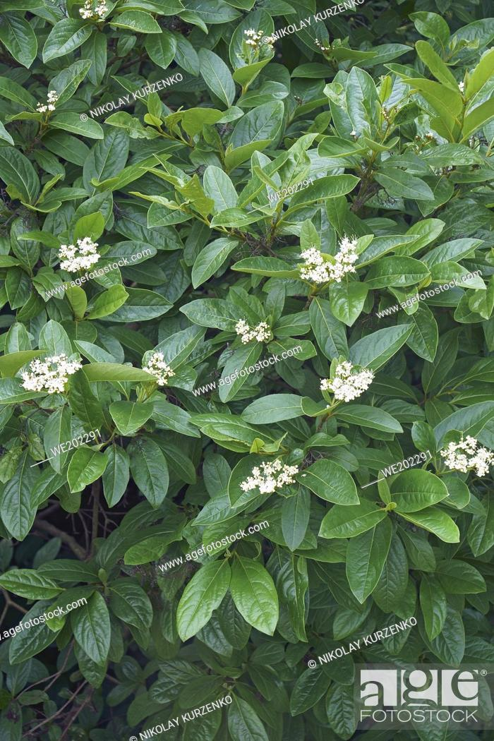 Stock Photo: Winterthur smooth viburnum (Viburnum nudum 'Winterthur').