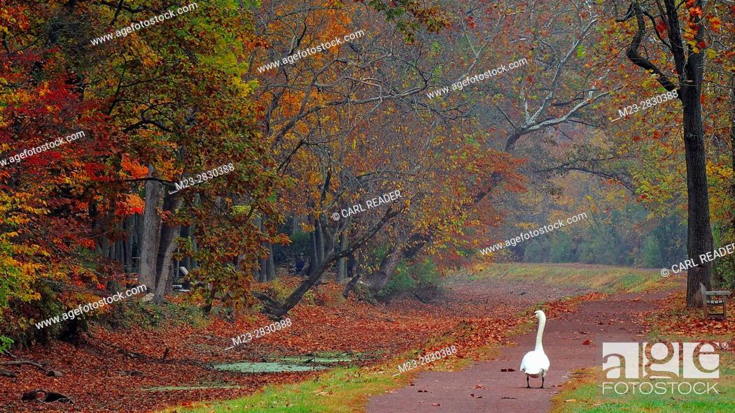 Stock Photo: A mute swan, Cygnus olor, walks a lonely path in autumn, Pennsylvania, USA.