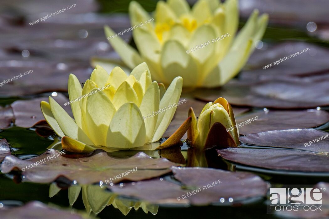 Stock Photo: Yellow cultivar of Nymphaea / water lilies in flower in pond.