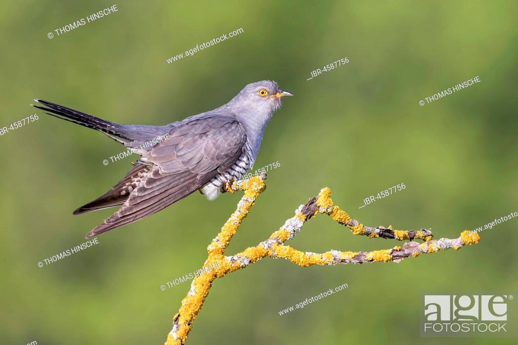 Imagen: Common cuckoo (Cuculus canorus), Central Elbe Biosphere Reserve, Saxony-Anhalt, Germany.