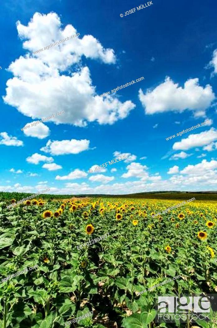 Stock Photo: Sonnenblumenfeld mit Quellwolken.
