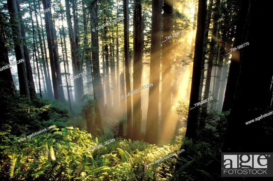 Stock Photo: Sunrays shining through forest. Redwoods National Park. California. USA.