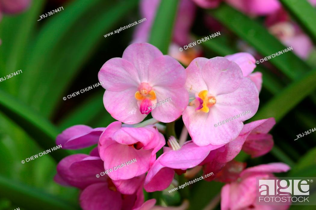 Stock Photo: Orchid Flower in the garden, borneo, asia.