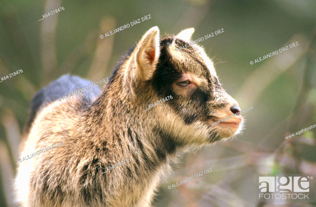 Stock Photo: Young goat. Cantabria. Spain.