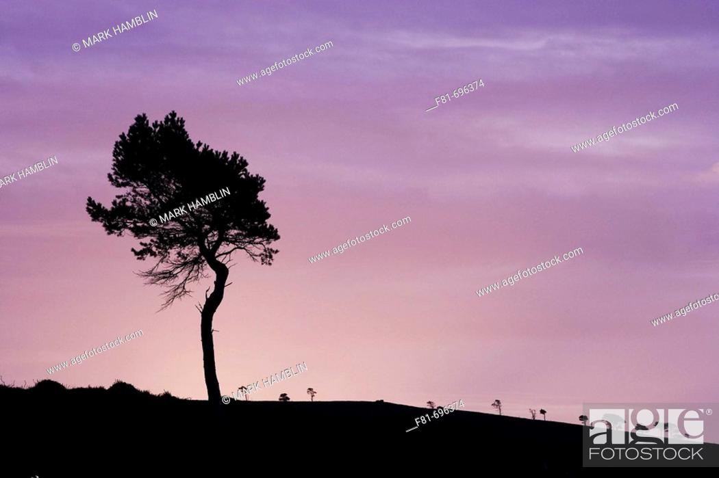 Stock Photo: Scots pine Pinus sylvestris silhouetted at dawn  Scotland  November 2007.