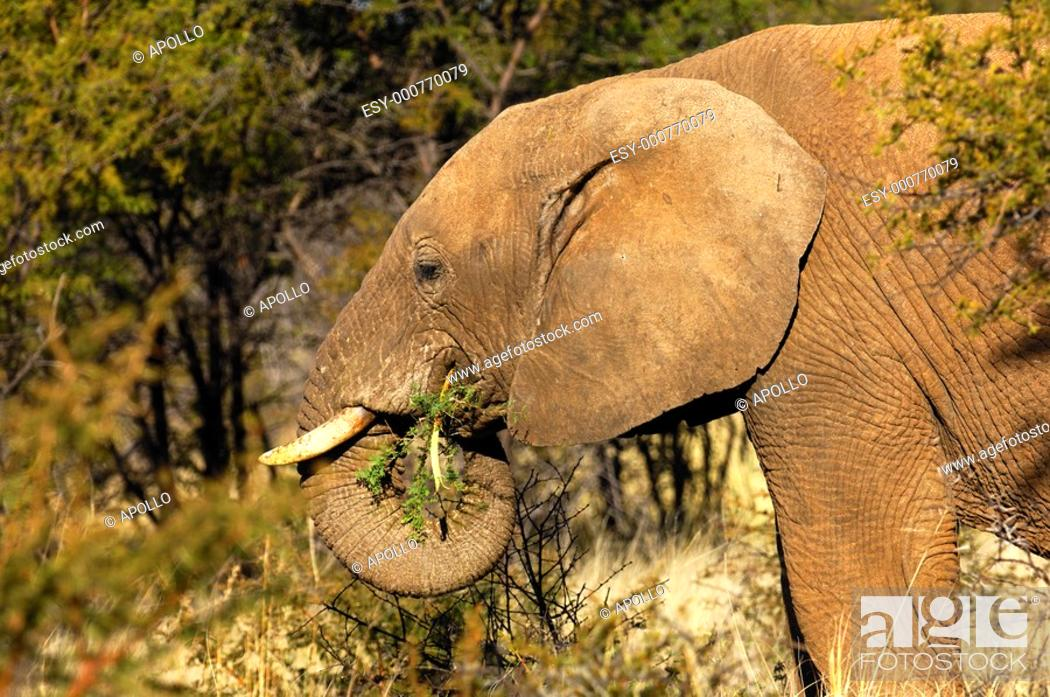Stock Photo: African Elephant foraging on thorn bush branches, Madikwe Game Reserve, South Africa.