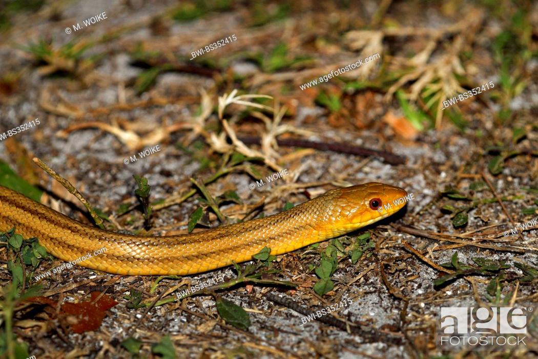 Western rat snake, Texas ratsnake, Black rat snake, Pilot