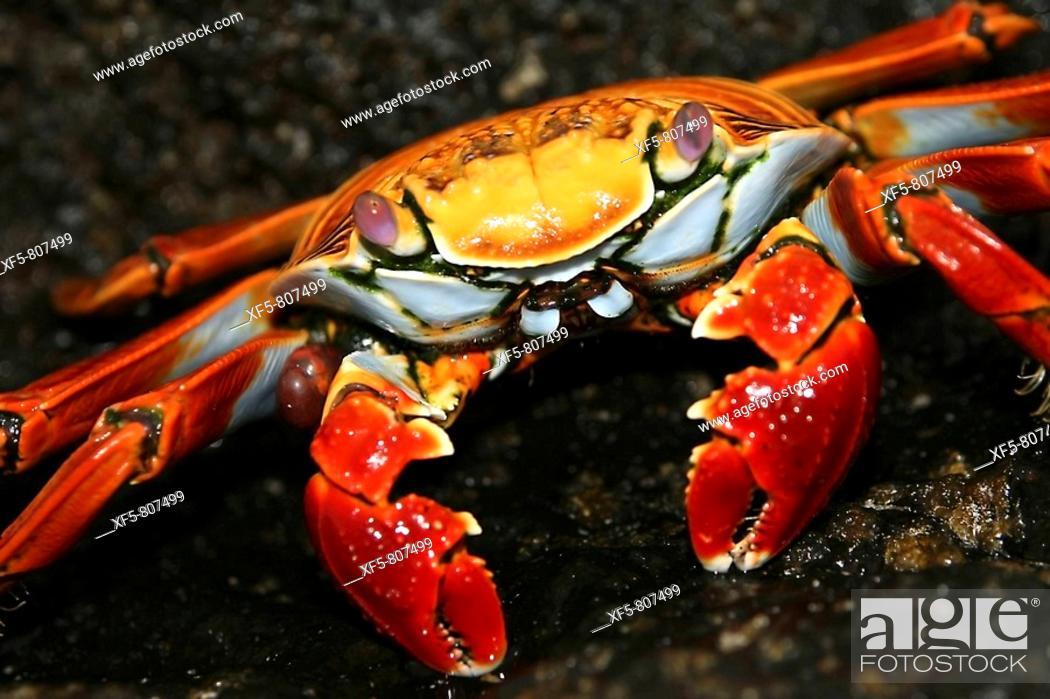 Stock Photo: Sally Lightfood crab (Grapsus grapsus). Galapagos Islands, Ecuador.