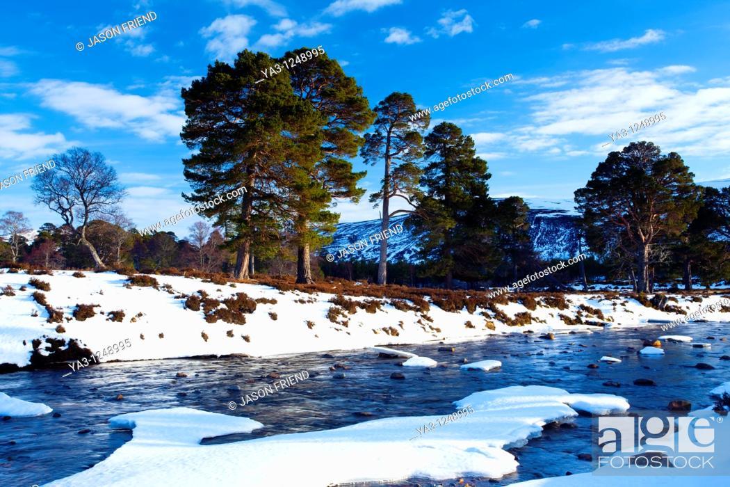 Scotland, Aberdeenshire, Mar Lodge Estate Scots Pines