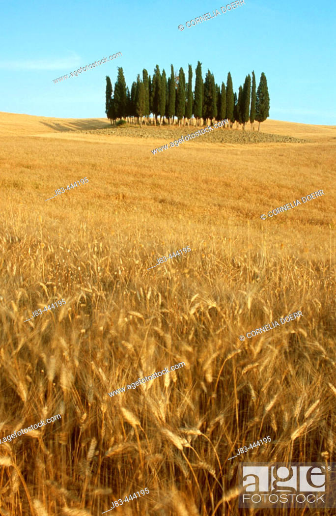 Stock Photo: Cypress trees in wheat field, Val d'Orcia, Siena province, Tuscany, Italy.