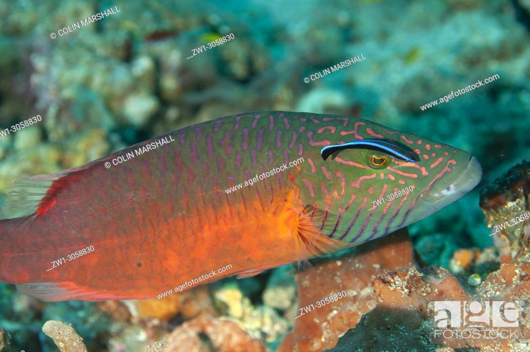 Stock Photo: Linecheeked Wrasse (Oxycheilinus digramma, Labridae family) being cleaned by Bluestreak Cleaner Wrasse (Labroides dimidiatus), Pyramids dive site, Amed.