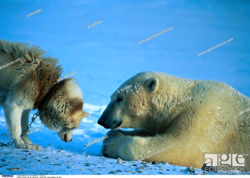 Stock Photo: Polar bear, Sled dog, Game.