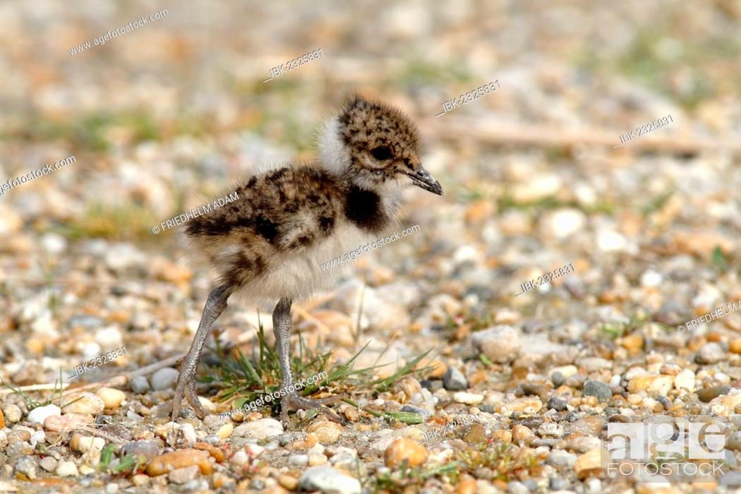 Stock Photo: Northern Lapwing, Peewit or Green Plover (Vanellus vanellus), chick standing on the beach, Apetlon, Lake Neusiedl, Burgenland, Austria, Europe.