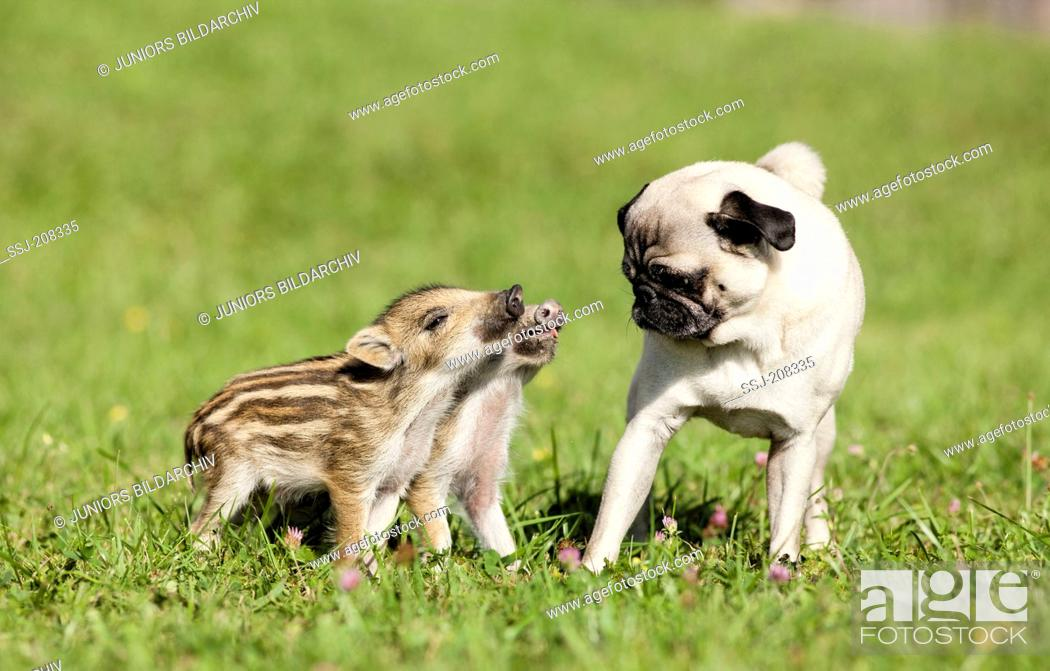 Pug  Adult dog interacting with a pair of Wild Boar shoats