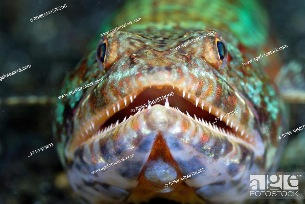 Stock Photo: Reef lizardfish Synodus variegatus  Lembeh Strait, Celebes Sea, North Sulawesi, Indonesia.