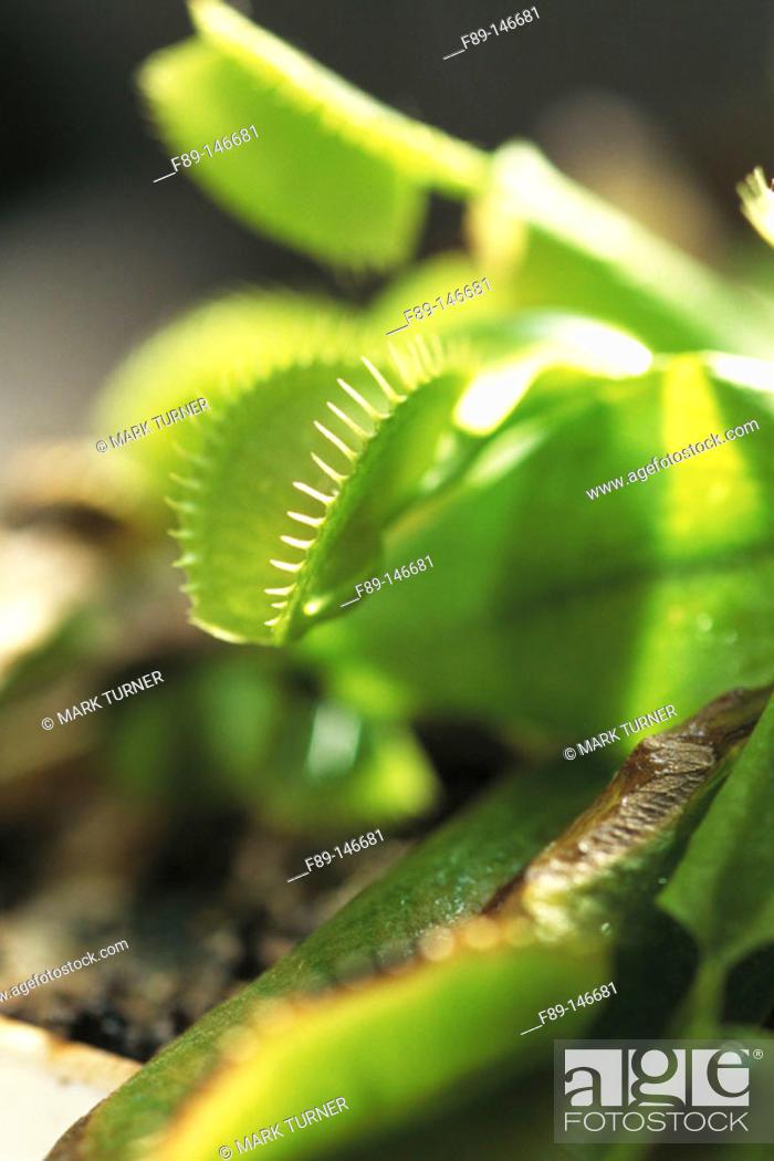 Stock Photo: Venus Flytrap (Dionaea muscipula).