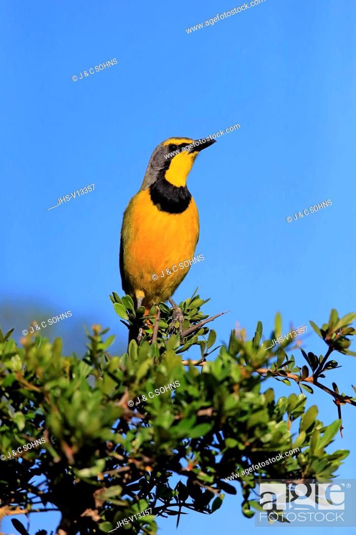 Stock Photo: Yellow-Throated Longclaw, (Macronyx croceus), adult on branch alert, Addo Elephant Nationalpark, Eastern Cape, South Africa, Africa.