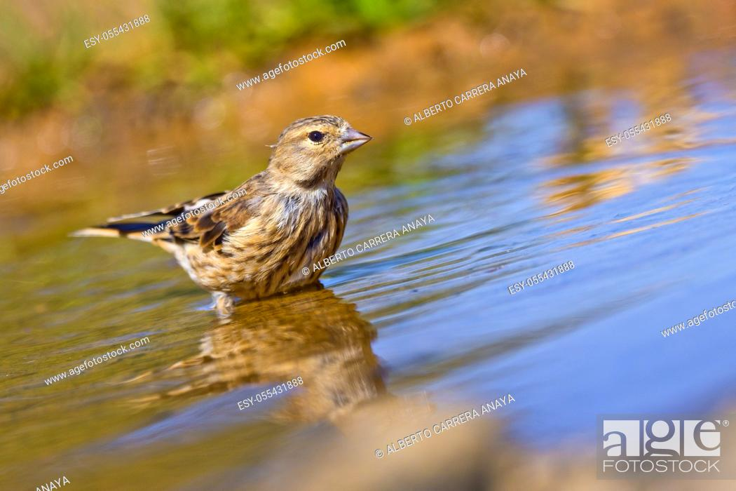 Imagen: Linnet, Carduelis cannabina, Pardillo Común, Forest Pond, Castilla y León, Spain, Europe.