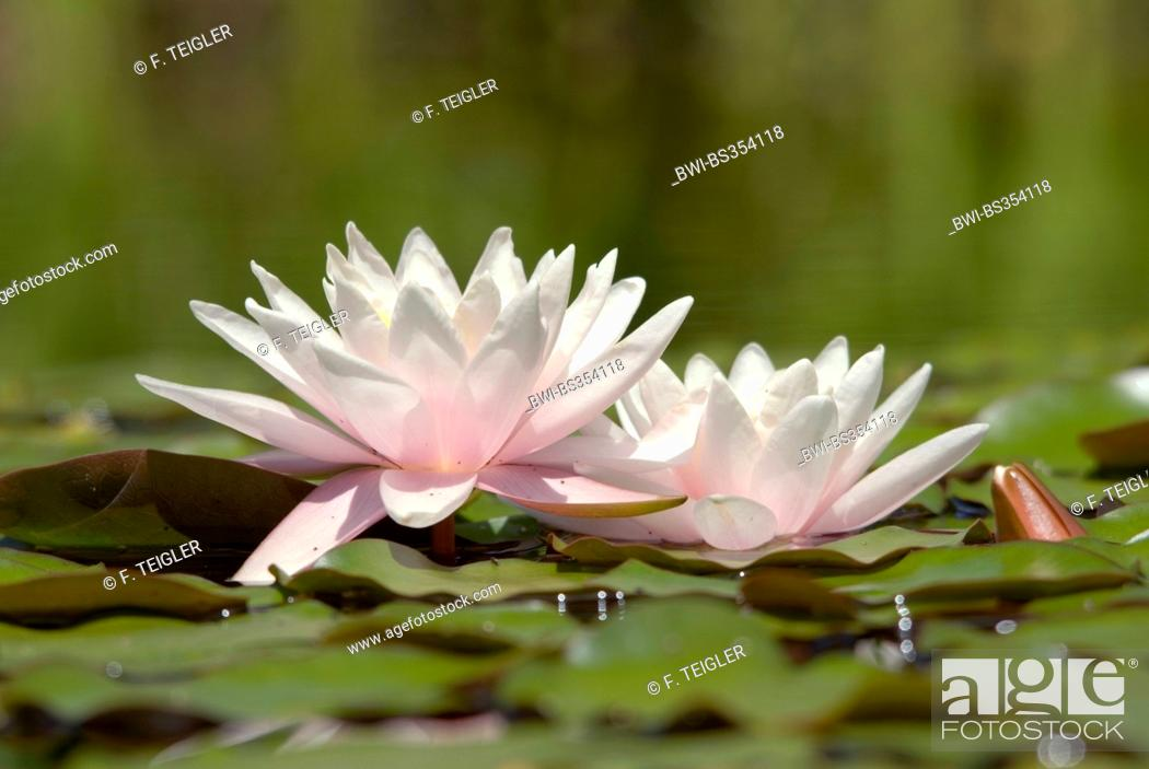 Stock Photo: water lily, pond lily (Nymphaea spec.), two flowers.