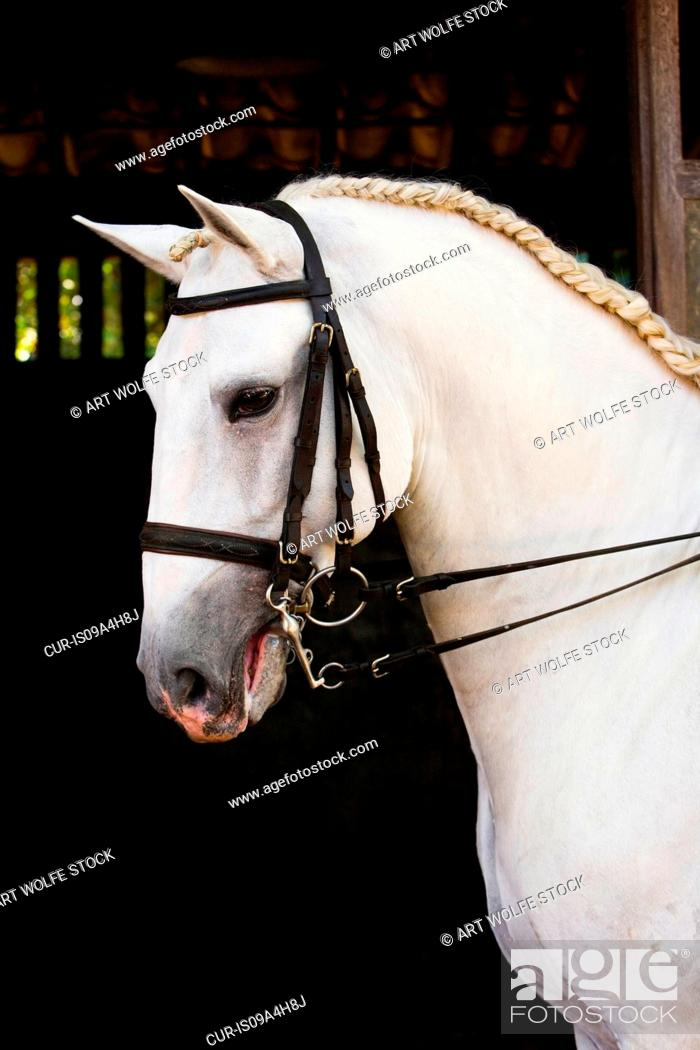 Stock Photo: Lusitano horse.
