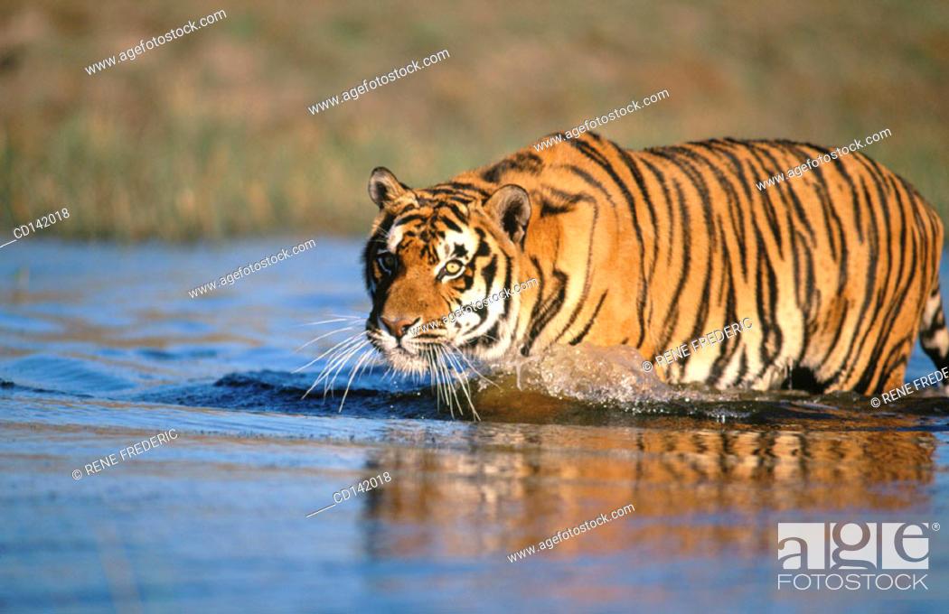 Stock Photo: Bengal Tiger (Panthera tigris tigris), captive. India.
