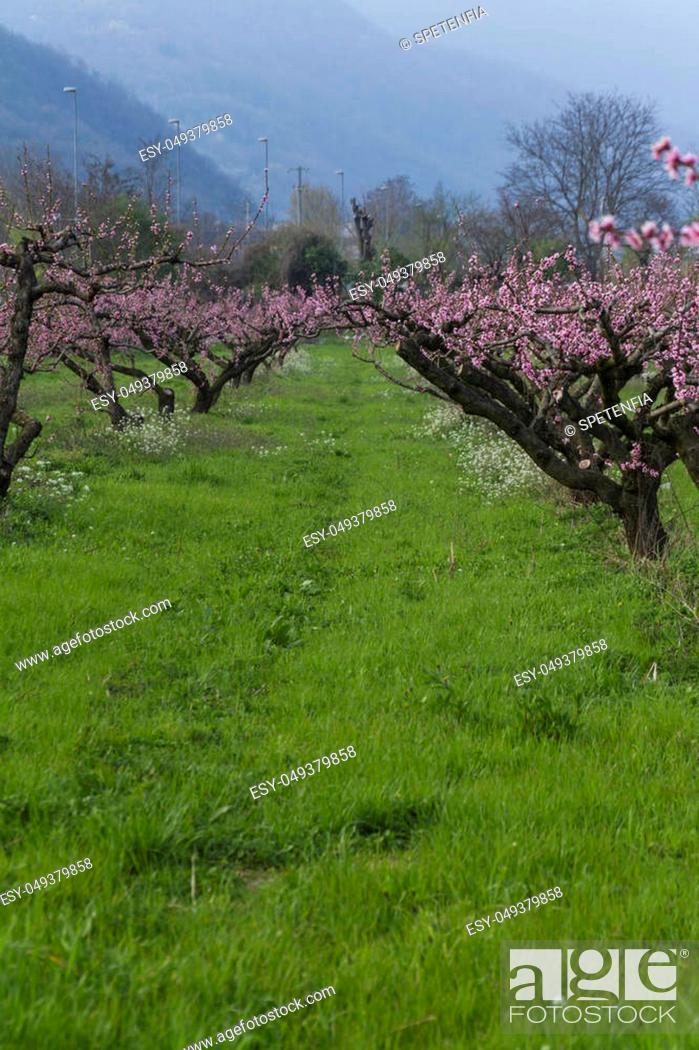 Imagen: cultivation of peach trees.