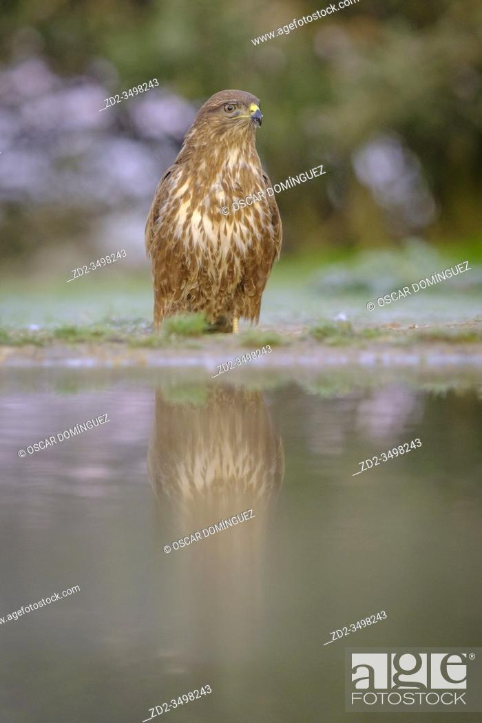 Imagen: Eurasian Buzzard (Buteo buteo) perched on ground in front of water. Lleida province. Catalonia. Spain.