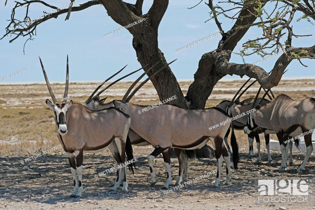 Stock Photo: 27 November 2019, Namibia, Etosha-Nationalpark: Oryx antelopes stand under a tree in Etosha National Park. Photo: Oliver Berg/dpa.