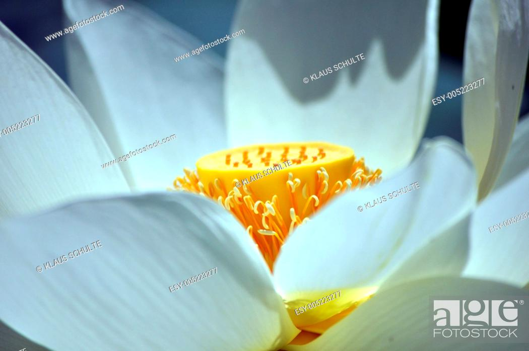 Stock Photo: Lotus.