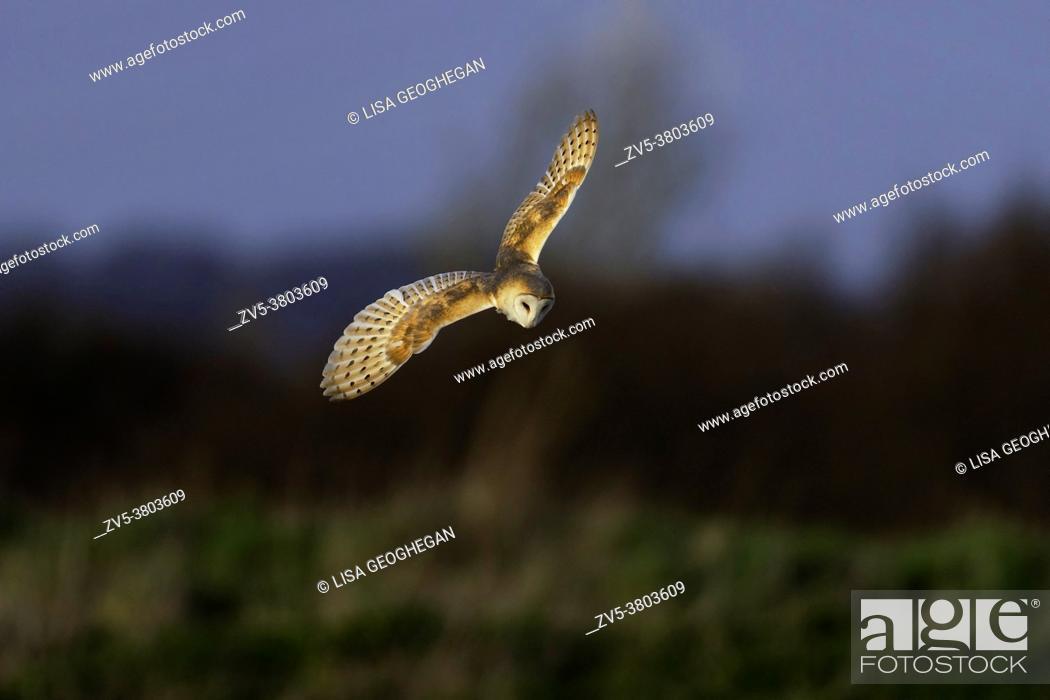 Imagen: Barn Owl-Tyto alba.