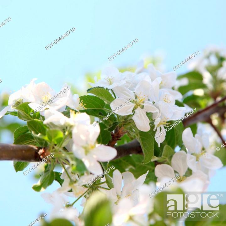 Stock Photo: apple blossom.