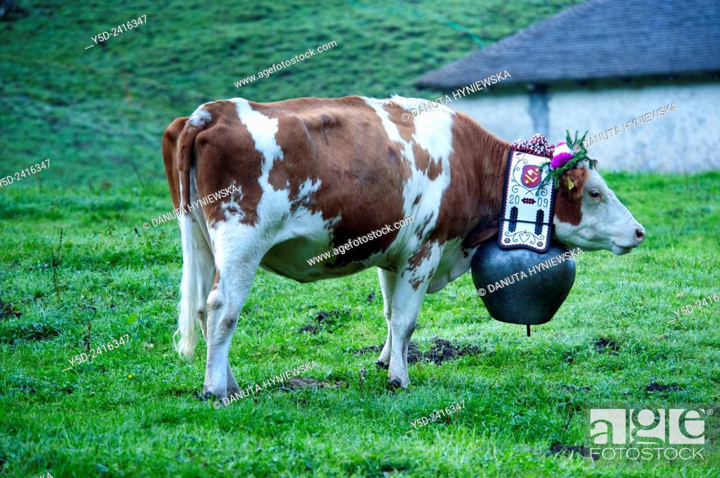 Photo de stock: portrait of Swiss cow decorated with flowers and huge bell, desalpes ceremony - cows coming back from high pastures for the winter, Charmey, Fribourg canton.