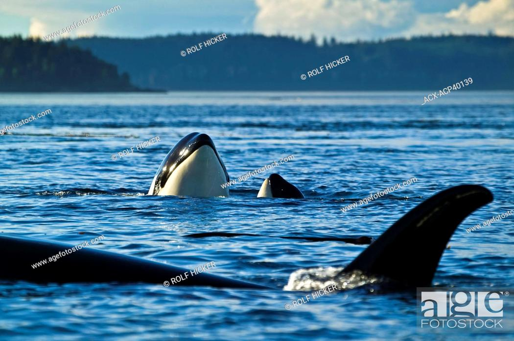 Stock Photo: Three Killer Whales Orcinus orca, two of them spyhopping, near Vancouver Island, British Columbia, Canada.