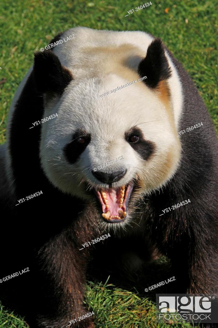 Stock Photo: Giant Panda, ailuropoda melanoleuca, Adult Yawning, Asia.