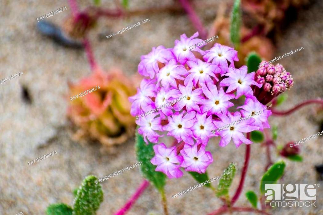 Stock Photo: Pink Sand Verbena (Abronia umbellata) wildflowers blooming on the coast of the Pacific Ocean, Santa Cruz, California.