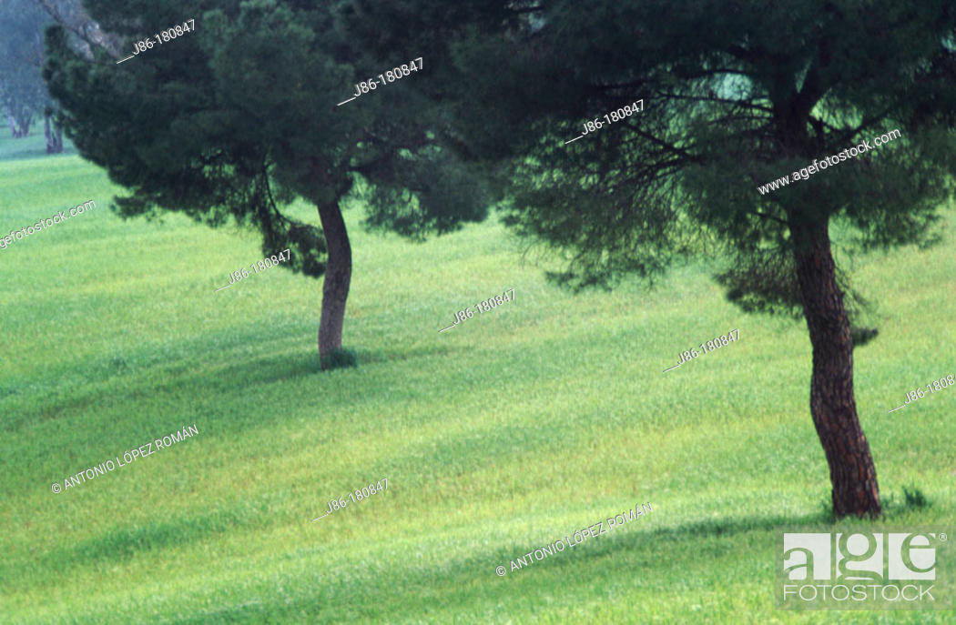 Stock Photo: Stone Pines (Pinu pinea). Seville province. Spain.
