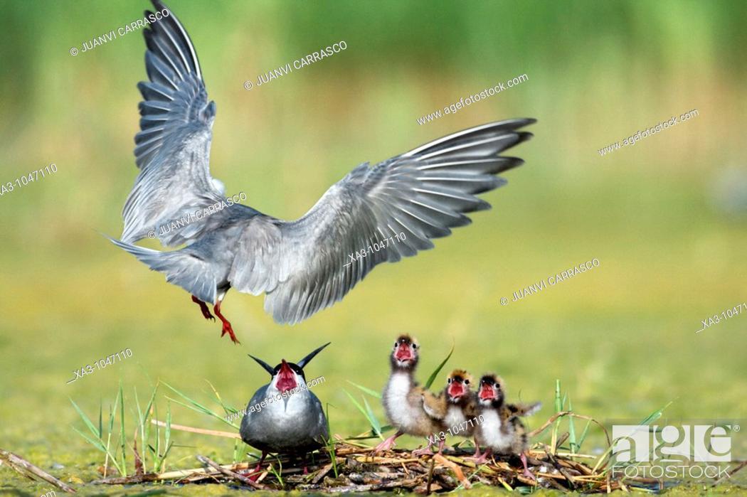 Stock Photo: Whiskered tern, Chlidonias hybrida, feeding chicks at nest.