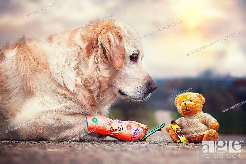 Imagen: Golden Retriever and teddy bear.