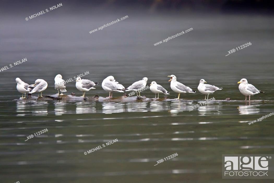 Stock Photo: Gulls on a log in Southeast Alaska.