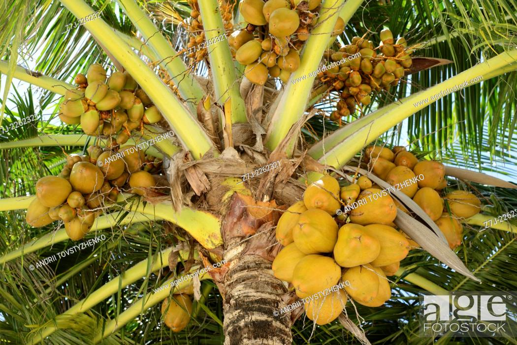 Stock Photo: palm tree with green coconuts on Maldives.