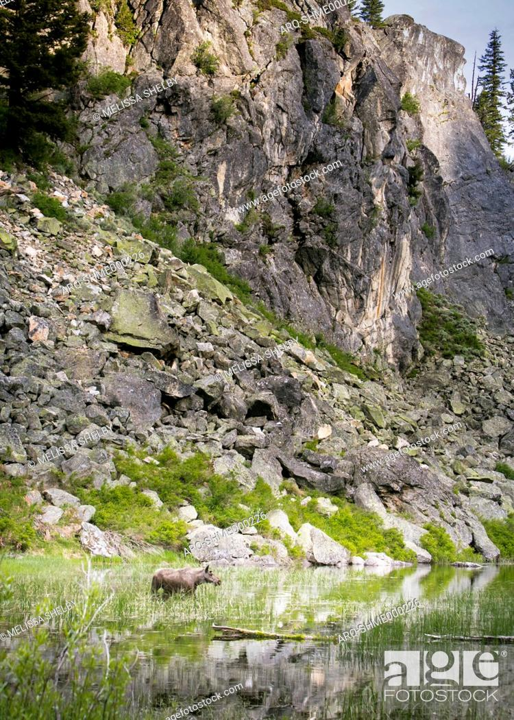 Stock Photo: Female Shiras moose (Alces alces) standing below rocky cliffs and grazing in pond grass, McCall, Idaho, USA.