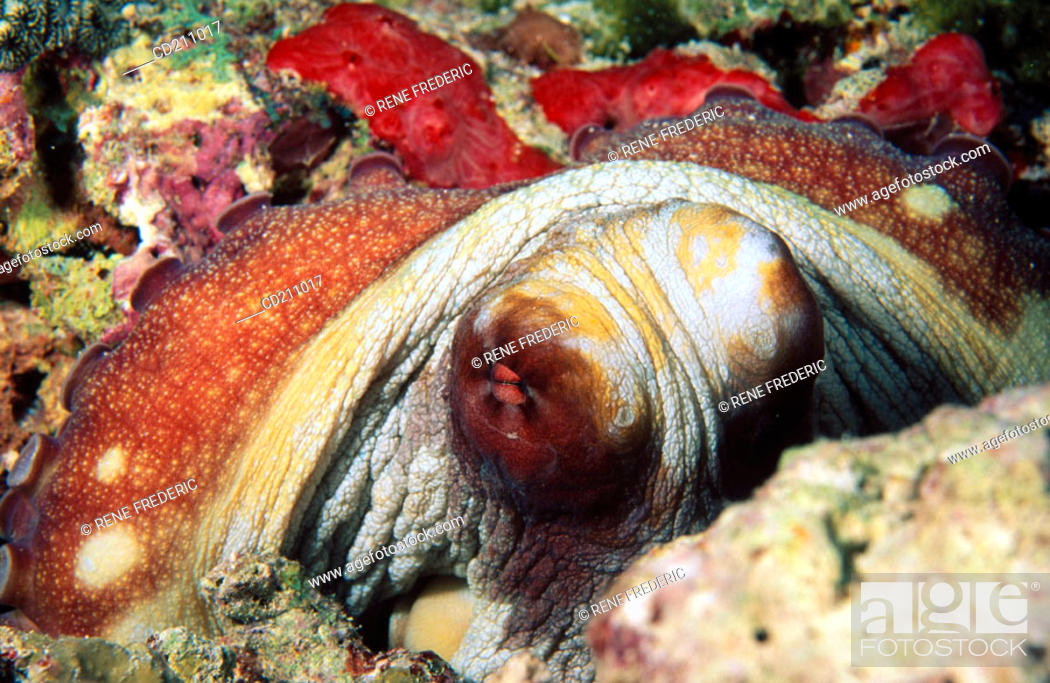Stock Photo: Common Reef Octopus (Octopus cyanea). Maldive Islands.