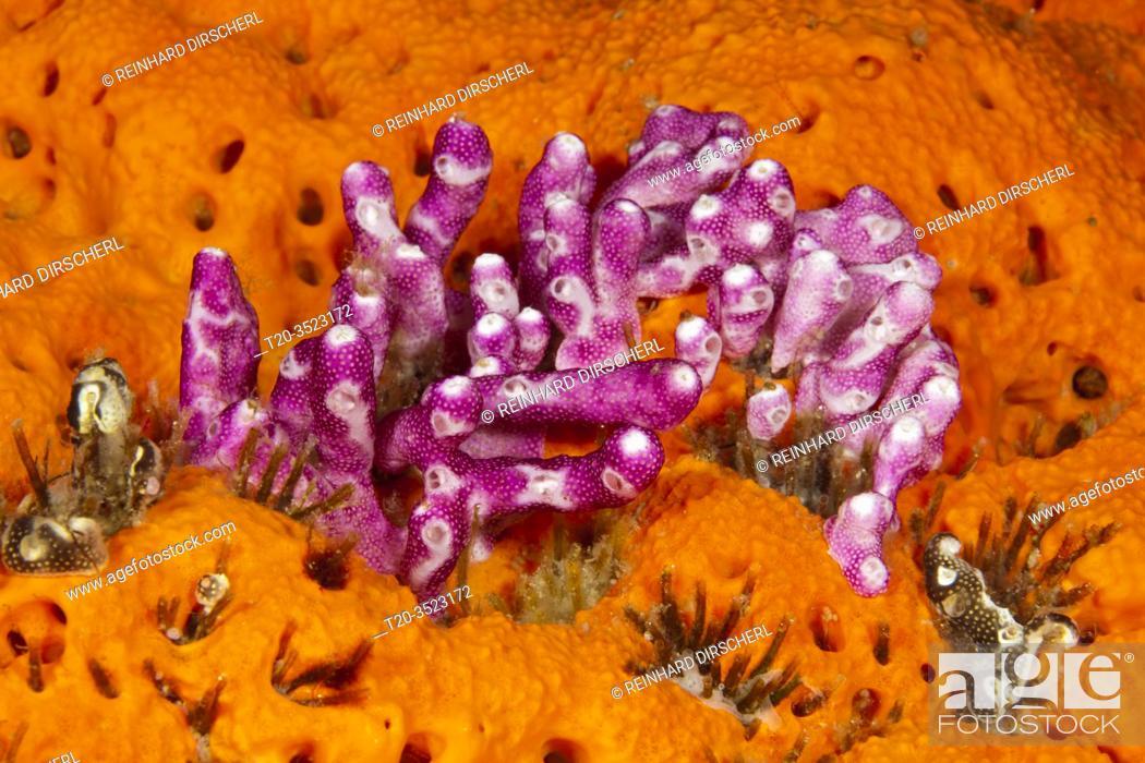 Stock Photo: Pink Didemnum, Didemnum moseleyi, Kimbe Bay, New Britain, Papua New Guinea.