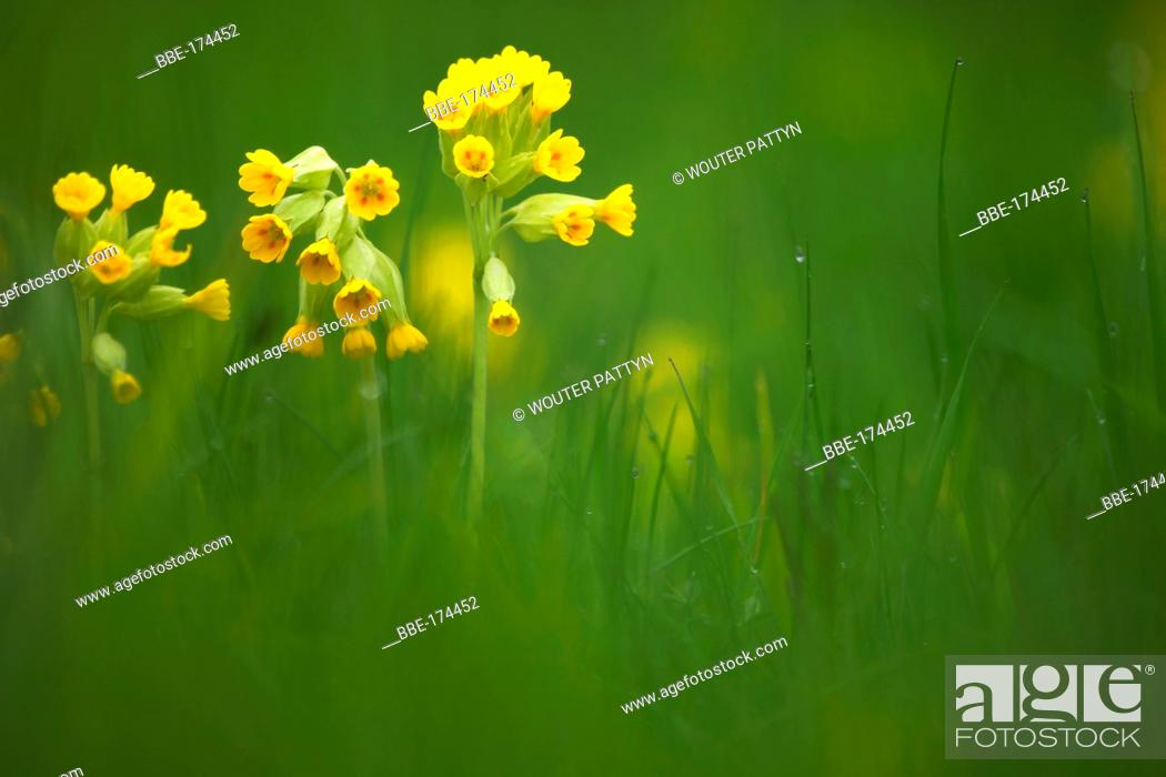 Stock Photo: Cowslip in a meadow.