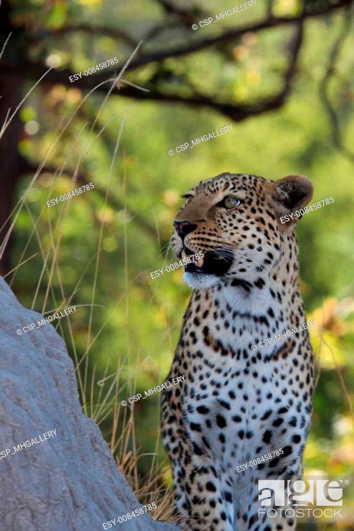 Stock Photo: leopard in Tanzania national park.