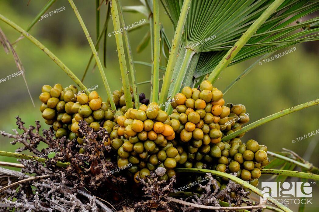 Stock Photo: Palmito, Chamaerops humilis, parque natural de la serra de Llevant, Arta, Majorca, Balearic Islands, Spain.