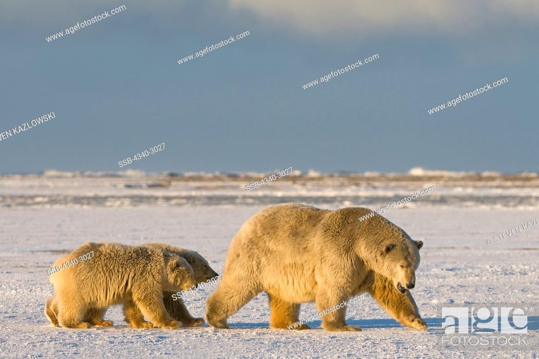 Stock Photo: USA, Alaska, Brooks Range, Arctic National Wildlife Refuge, Polar bear (Ursus maritimus) sow and cub on newly formed pack ice during fall freeze up off Bernard.