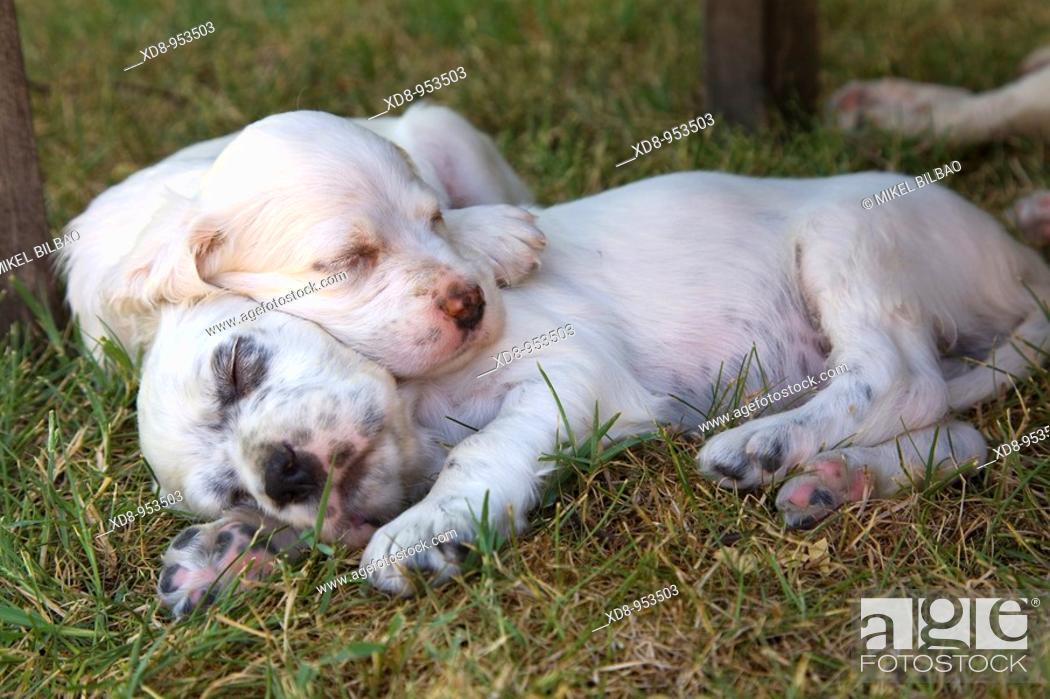 Stock Photo: dog puppies English Setter sleeping (Canis lupus familiaris).